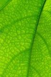 Foglio verde della priorità bassa Immagine Stock Libera da Diritti