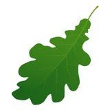 Foglio verde della quercia Immagine Stock