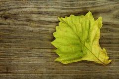 Foglio verde della quercia su priorità bassa di legno Fotografia Stock