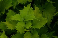 Foglio verde della sorgente immagini stock