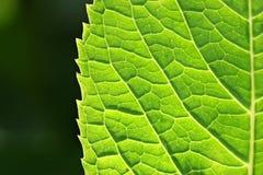 Foglio verde della sorgente Fotografia Stock