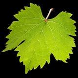 Foglio verde della vite Fotografia Stock