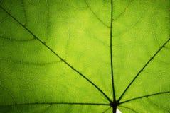 Foglio verde di un acero Fotografie Stock Libere da Diritti