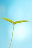 Foglio verde di Yougn Fotografie Stock Libere da Diritti