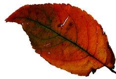 Foglio verde ed arancione - macro fotografia stock