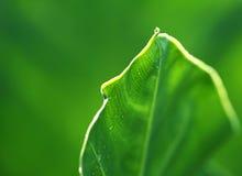 Foglio verde fresco del caladium fotografia stock
