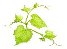 Foglio verde fresco dell'uva Fotografie Stock Libere da Diritti