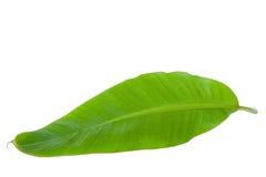 Foglio verde fresco della banana Immagini Stock Libere da Diritti