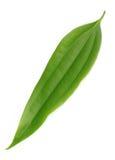 Foglio verde fresco della cassia Fotografie Stock