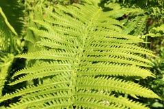 Foglio verde fresco della felce Fotografie Stock Libere da Diritti