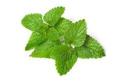 foglio verde fresco di melissa Fotografie Stock