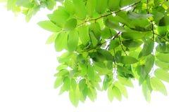 Foglio verde fresco isolato su priorità bassa bianca Immagine Stock Libera da Diritti