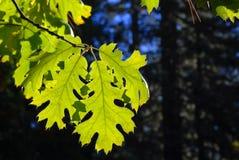 Foglio verde illuminato in una foresta contro un cielo blu profondo Immagine Stock