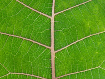 Foglio verde intenso fotografia stock