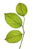 Foglio verde isolato Fotografie Stock Libere da Diritti