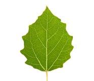 Foglio verde isolato Fotografie Stock