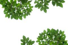 Foglio verde isolato su bianco Immagine Stock Libera da Diritti