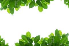 Foglio verde isolato su bianco Fotografia Stock