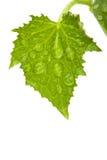 Foglio verde isolato su bianco Fotografia Stock Libera da Diritti