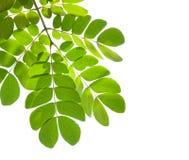 Foglio verde isolato su priorità bassa bianca Fotografie Stock