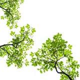 Foglio verde isolato su priorità bassa bianca Immagini Stock
