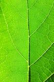 Foglio verde a macroistruzione - flusso di vita Immagini Stock Libere da Diritti