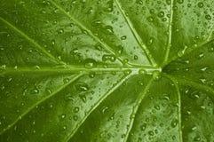 Foglio verde - primo piano Fotografie Stock