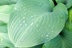 Foglio verde solido del hosta Fotografia Stock Libera da Diritti