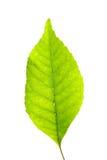 Foglio verde sopra bianco Fotografia Stock