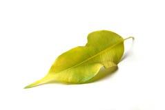 Foglio verde su bianco Immagine Stock