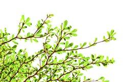 Foglio verde su priorità bassa bianca fotografia stock libera da diritti