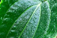 Foglio verde tropicale - priorità bassa astratta Fotografia Stock Libera da Diritti