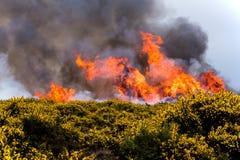 Fogo da charneca Imagem de Stock