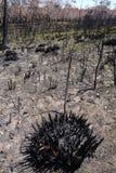 Fogo de Austrália arbusto: pântano queimado que regenera Imagens de Stock