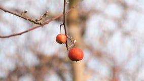 Fogotten som skördar äpplet på trädet lager videofilmer