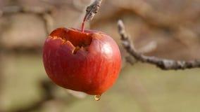 Fogotten som skördar äpplet på trädet arkivfilmer