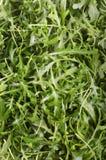 Foguete selvagem orgânico recentemente lavado Imagens de Stock Royalty Free