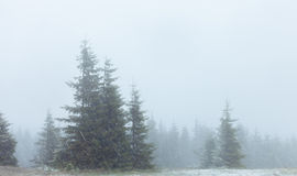 Fogy fir forest in snowstorm Royalty Free Stock Photography