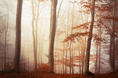 Fogy forest autumn Stock Photos