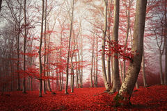 Fogy forest autumn Stock Image