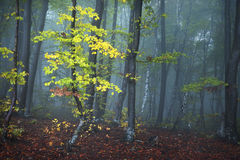 Fogy forest autumn. Sun beams in fogy and forest autumn Royalty Free Stock Images