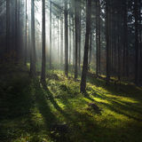 Fogy forest autumn. Sun beams in fogy and forest autumn Stock Photography