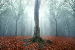 Fogy forest autumn. Sun beams in fogy and forest autumn Royalty Free Stock Photos
