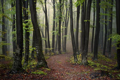 Fogy forest autumn. Sun beams in fogy and forest autumn Stock Photos