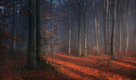 Fogy forest autumn. Sun beams in fogy and forest autumn with red trees Stock Image