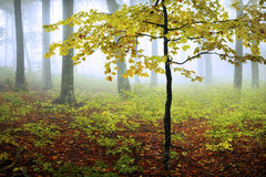 Fogy forest autumn. Sun beams in fogy and forest autumn with red trees Royalty Free Stock Photo
