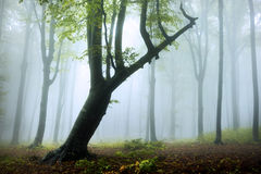 Fogy forest autumn. Sun beams in fogy and forest autumn with red trees Royalty Free Stock Photos