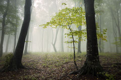 Fogy forest autumn. Sun beams in fogy and forest autumn with red trees Stock Photography