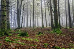 Fogy forest. Inside the Navarra's fogy forest in Spain Stock Photos