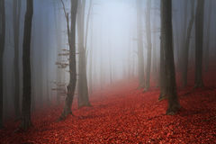 Fogy forest. Red tree in the fogy forest autumn stock photos